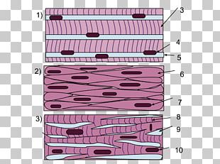 Smooth Muscle Tissue Skeletal Muscle PNG