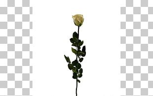 Cut Flowers Rose Family Champagne Flower Bouquet PNG