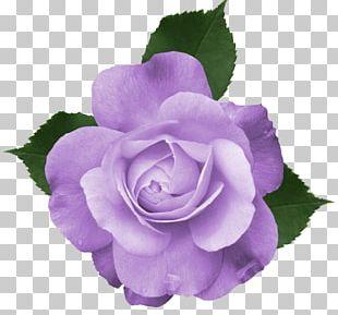 Rose Purple PNG