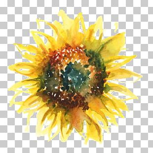 Common Sunflower T-shirt Watercolor Painting Sunflower Seed PNG