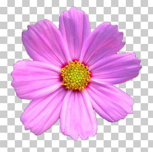 Cosmos Bipinnatus Chrysanthemum Xd7grandiflorum Pink PNG