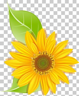 Common Sunflower Daisy Family Transvaal Daisy Sunflower Seed PNG
