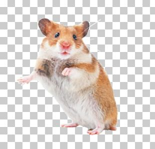 Hamster Rat Mouse Rodent Pet PNG