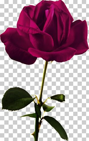 Flower Beach Rose Red Color PNG