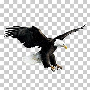 Bald Eagle Hawk Falconiformes PNG