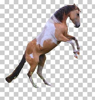 Mustang American Paint Horse Appaloosa Akhal-Teke Stallion PNG