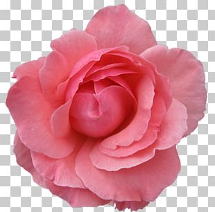 Pink Flowers Rose Pink Flowers PNG