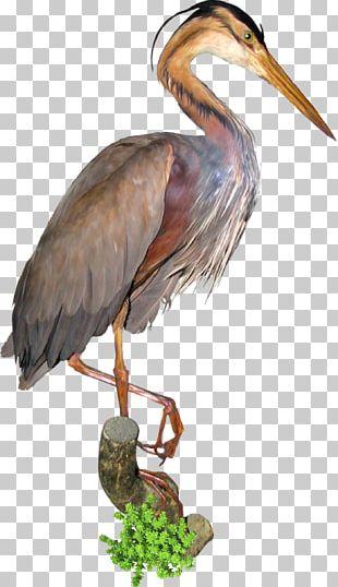 Bird Crane Green Heron Stork Ardea PNG