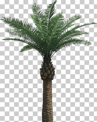 Arecaceae Tree PNG