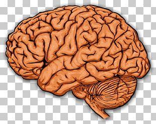 The Prefrontal Cortex Human Brain Cerebral Cortex PNG
