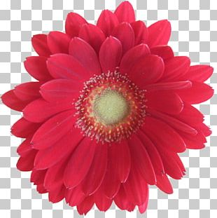 Artificial Flower Transvaal Daisy Floristry PNG
