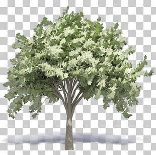Woody Plant Tree Autodesk Revit Building Information Modeling PNG