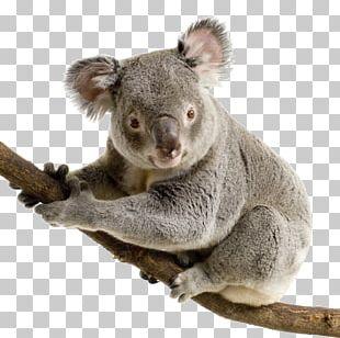 Koala Bear Giant Panda Cuteness PNG
