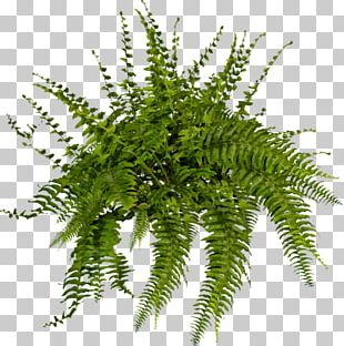 Plant Tree Fern Shrub PNG