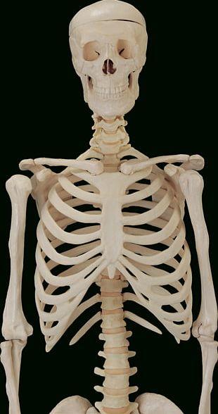The Skeletal System Bone Anatomy Human Skeleton PNG