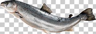 Fish Fin Atlantic Salmon PNG