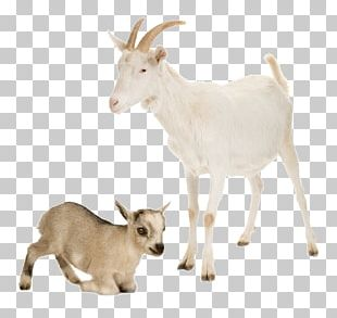 Nigerian Dwarf Goat Sheep Cattle Farm Livestock PNG