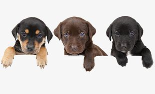 Three Puppies PNG