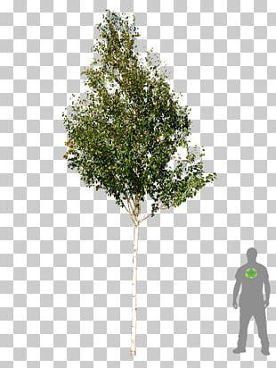 Tree Woody Plant Betula Utilis Silver Birch PNG