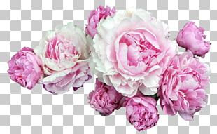 Peony Portable Network Graphics Pink Flowers Desktop PNG