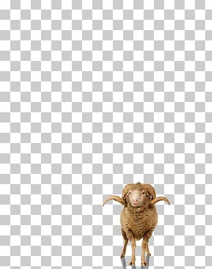 Sheep Goat Cattle Wildlife Snout PNG