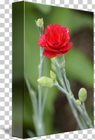 Cut Flowers Rose Family Bud Plant Stem PNG