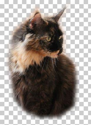 Maine Coon Whiskers Norwegian Forest Cat Asian Semi-longhair Kitten PNG