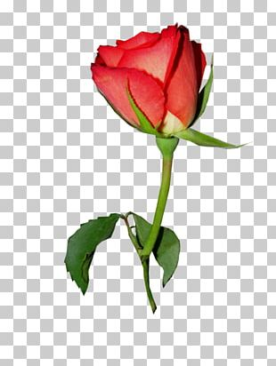 Garden Roses Portable Network Graphics Painting PNG