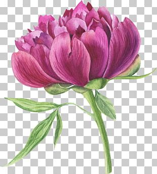 Watercolor Painting Peony Stock Photography PNG