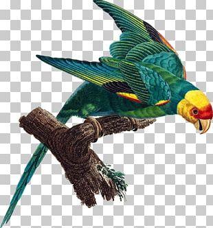 Parrot Carolina Parakeet Bird Extinction PNG