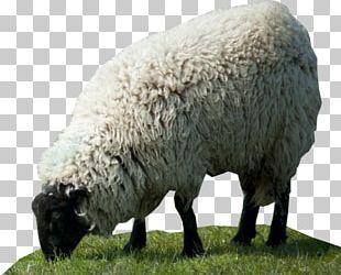 Sheep Desktop HVGA PNG