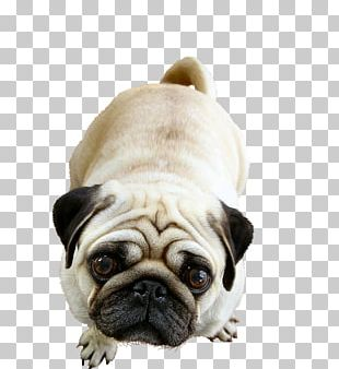 Pug Golden Retriever French Bulldog Puppy PNG