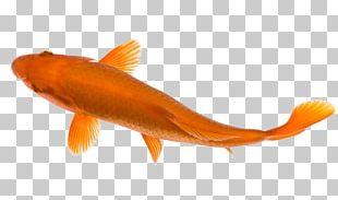 Goldfish Koi Pond Carp PNG