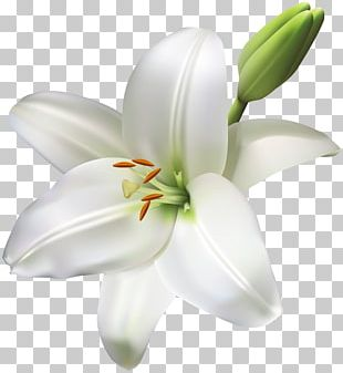 Madonna Lily Cut Flowers Easter Lily PNG