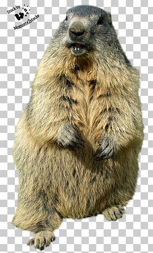 Groundhog Day Punxsutawney Desktop Funny Animal PNG