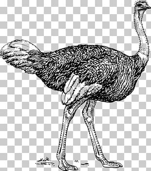 Common Ostrich Bird Drawing Line Art PNG