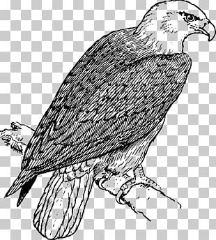 Bald Eagle Coloring Book Child PNG