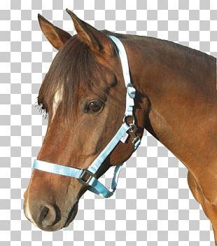 Halter Cob Foal Stallion Pony PNG