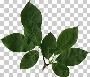 Leaf Green PNG