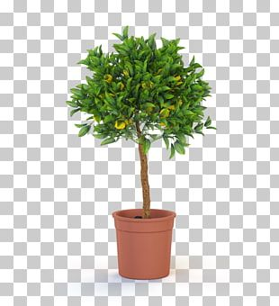 Topiary Tree Weeping Fig Plant Bonsai PNG