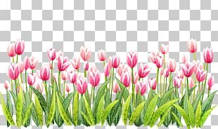 Tulip Flower PNG