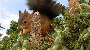 Desktop Animal Red Squirrel Tree Squirrels Desktop Environment PNG