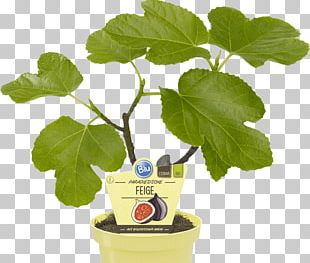 Common Fig Houseplant OBI Weeping Fig Embryophyta PNG