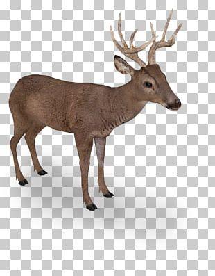 Elk White-tailed Deer Reindeer Even-toed Ungulates PNG