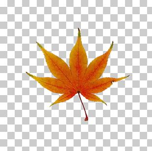 Japanese Maple Red Maple Maple Leaf Tree PNG