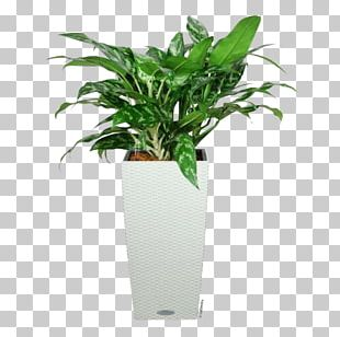Chinese Evergreen Leaf Ornamental Plant Flowerpot Houseplant PNG