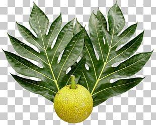 Breadfruit National Tropical Botanical Garden Leaf Food PNG