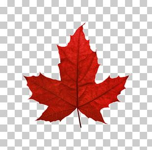 Red Maple Maple Leaf Sugar Maple Japanese Maple PNG