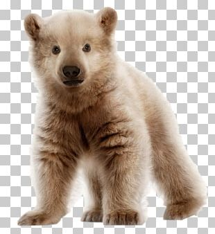 Polar Bear Brown Bear Pizzly Grizzly Bear PNG