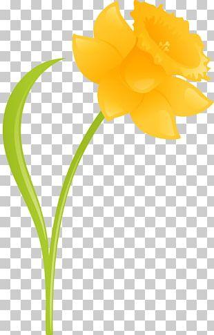 Daffodil Cut Flowers Plant Amaryllis PNG